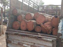 आरा मशीन के सामने से ही पिकअप पर लदी पड़ी सागौन की अवैध लकड़ी बरामद की गई